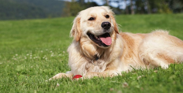 best collar for golden retriever