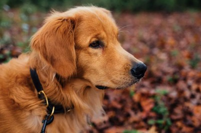 10 Best Dog Collar For Sensitive Skin [ Reviews & Buying Tips ]