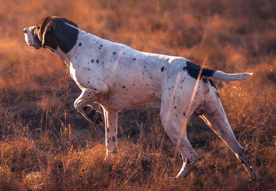 best shock collar for hunting dogs