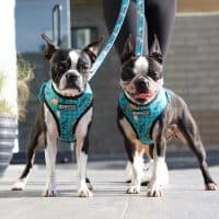10 best harness for boston terrier in 2020 [reviews]