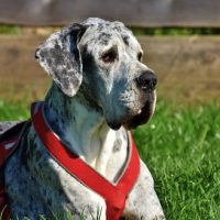 10 best harness for great dane in 2020 [reviews]