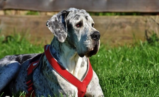 Best Harness For Great Dane