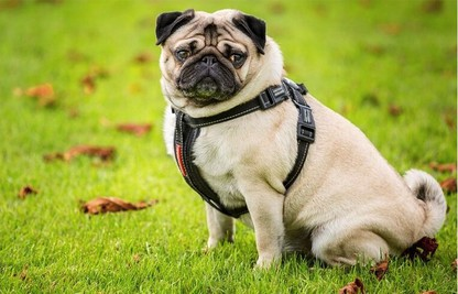 Best Harness For A Pug