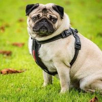 10 best harness for a pug in 2020 [ Reviews ]