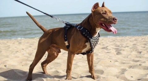 10 Best Dog Harness For Pitbulls [ Reviews & Buying Guide ]