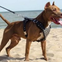10 best dog harness for pitbulls in 2020 [ reviews ]