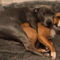 10 Best Dog Bed For Pitbull