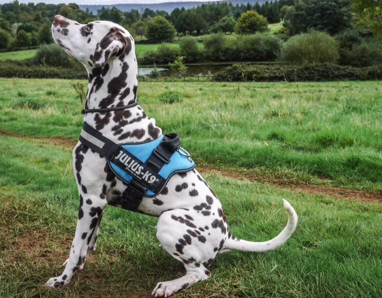 How To Train Your Great Dane To Stop Pulling With Harness