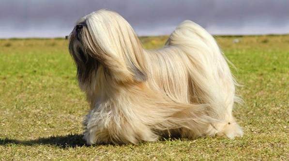 Dog breeds that can be left alone for 8 hours
