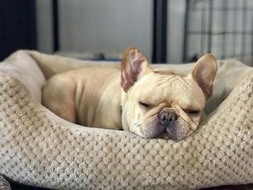 10 Best Bed For French Bulldog [ Reviews & Buying Tips ]