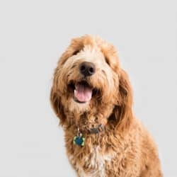 10 Best Collars For Goldendoodles