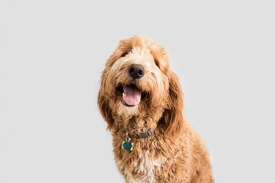 10 Best Collars For Goldendoodles [ Reviews & Buying Tips ]
