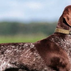 10 Best E Collar For German Shorthaired pointer