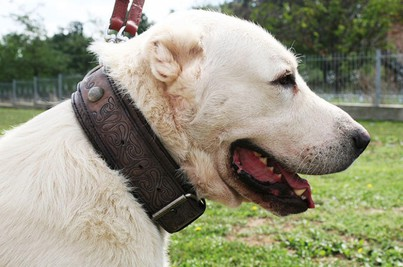 10 Best Collar For Great Pyrenees [Unbiased Reviews]