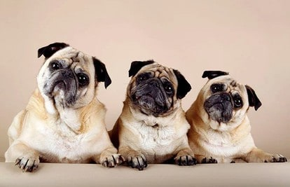 best collars for pugs