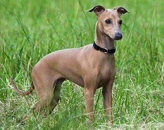 10 Best Collar For Italian Greyhound [ Reviews & Buying Tips ]