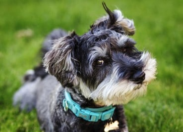 best collar for miniature schnauzer