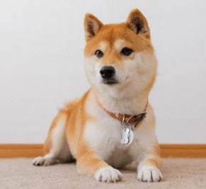 10 Best Collar For Shiba Inu – Unbiased Reviews