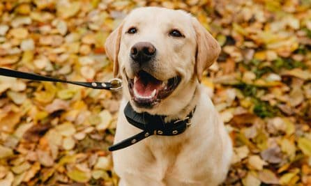 10 Best Bark Collar For Labs Reviews