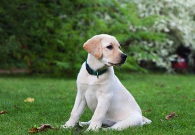 10 Best Collar For Lab Puppy Buying Guide