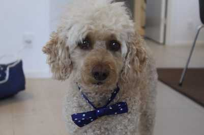 best collars for poodles