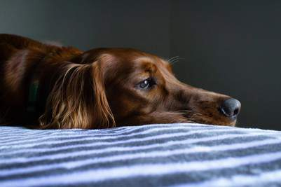 When to Euthanize a Dog With Liver Failure